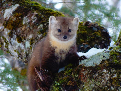American Marten by Bailey Parsons CC by SA 3.0 copy