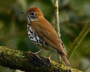 Wood_Thrush by Amado Demesa CC BY-SA 2.0